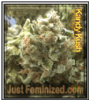 Candy Kush Just Feminized Mix & Match Seeds